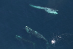 2 right whales and a sei whale