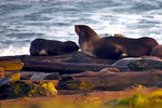 An instrumented northern fur seal female sleeping next to her pup., Photo by S. Bogle