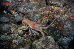 Caribbean spiny lobster.