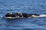 North Atlantic right whale, a Species in the Spotlight.
