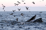 Humpback whales commonly lunge out of the water in pursuit of prey. Credit: John Calambokidis/Cascadia Research Collective.