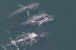 finback whales swimming in ocean