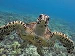 A hawksbill sea turtle in western Maui, Hawaiʻi. Photo: Don McLeish