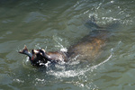 Sea lion eating salmon