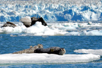 Harbor seals using glacial ice in Disenchantment Bay, Alaska. Photo by John Jansen, NOAA Fisheries