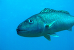 Picture of swimming uku snapper.