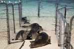 Five Hawaiian monk seals in a fenced enclosure as they are being released back into the water