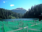 Net pens holding the 195,000 Chinook smolts until their release.