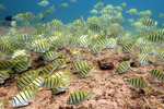 "School of convict tang or ""manini"" in Oahu, Hawaii."
