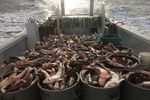 Several containers filled with dogfish on the deck of a boat under sail.