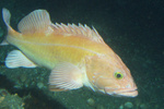 750x500-yelloweye_rockfish_noaa.jpg