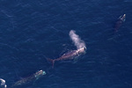 North Atlantic right whales seen during aerial surveys near Massachusetts Bay. Image collected under MMPA research permit 17355.