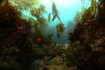 California montrose healthy kelp habitat restoration after restoration 1728x1152.jpg