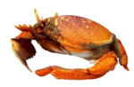 Illustration of Kona crab