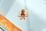 Baby octopus found on an autonomous reef monitoring structure in American Samoa.
