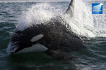 Southern Resident Killer Whale.