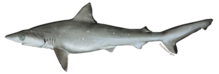 Atlantic Sharpnose