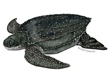 leatherback_turtle_illustration.jpg