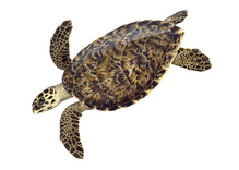 hawksbill_turtle_illustration.jpg