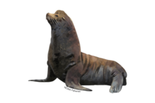 California sea lion illustration