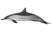 Spinner dolphin illustration