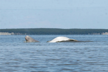 Beluga whale swimming with calf.