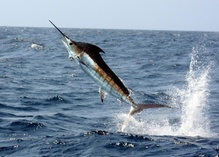 Pacific blue marlin.