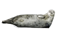 Harbor seal illustration