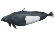 Dall's porpoise illustration.