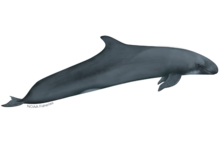 False killer whale illustration.
