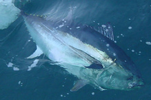 750x500-bluefin-tuna-sf.jpg