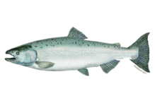 Illustration of a Chinook salmon.