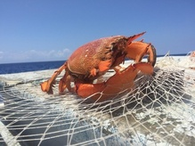 Kona crab in fishing net.