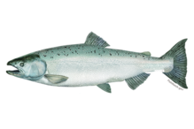 Chinook salmon illustration