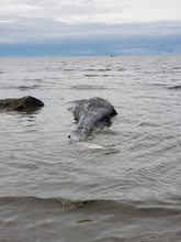 Dead gray whale at Clam Gulch, on the Kenai Peninsula in Alaska. Photo: Tim Clark, May 25, 2019