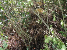 black mangroves