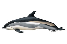 Atlantic white-sided dolphin illustration