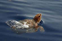 A healthy loggerhead turtle swims at the surface in the Gulf of Mexico.