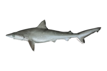 Atlantic sharpnose shark