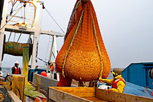 Survey codend being brought to sorting table in Northeastern Bering Sea.