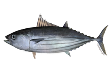 Atlantic skipjack tuna