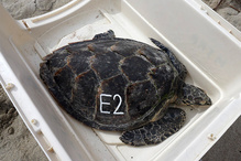 Hawksbill sea turtle in a animal crate ready to be released back into the wild.