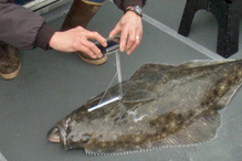 Measuring a halibut with a smartphone.