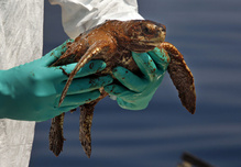 deepwater horizon oil turtle 2010 1290x895.jpg