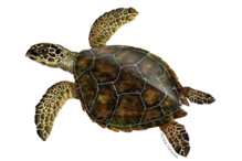 Hawksbill sea turtle illustration.