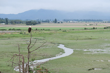 A bald eagle perch on a tree looks over a marshy area with a small stream running through it