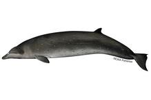 Stejneger's beaked whale illustration