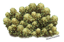 Acropora retusa  coral illustration