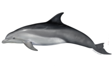 Dolphin_Bottlenose_NB_W.png