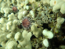 A Hawaiian collector sea urchin cleaning a coral of invasive algae in Kāne'ohe Bay.